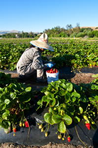 Iu Mien farmer harvesting strawberries