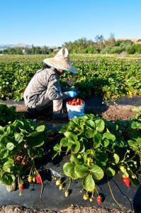 Iu Mien farmer harvesting strawberries